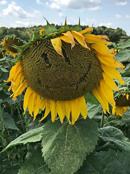 Silly Sunflower