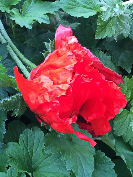Red Poppy Closed