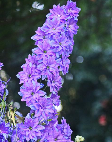 Lavender Delphinium