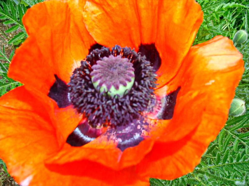 Orange Oriental Poppy Opens
