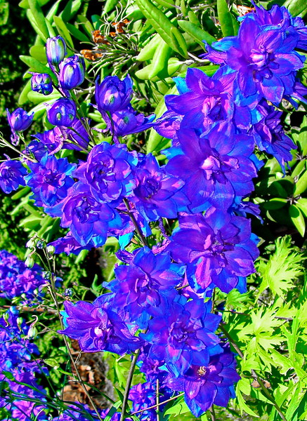 Lavender and Blue Delphinium