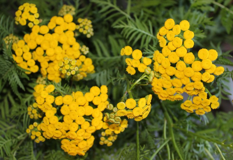 Golden Yellow Tansy