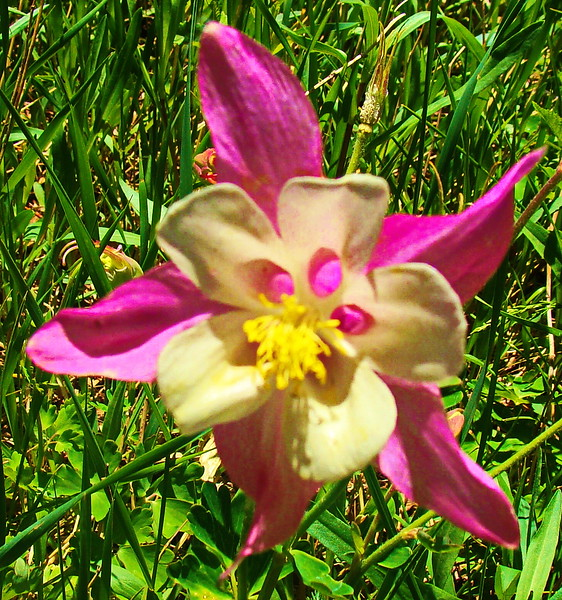 Dark Rose Columbine