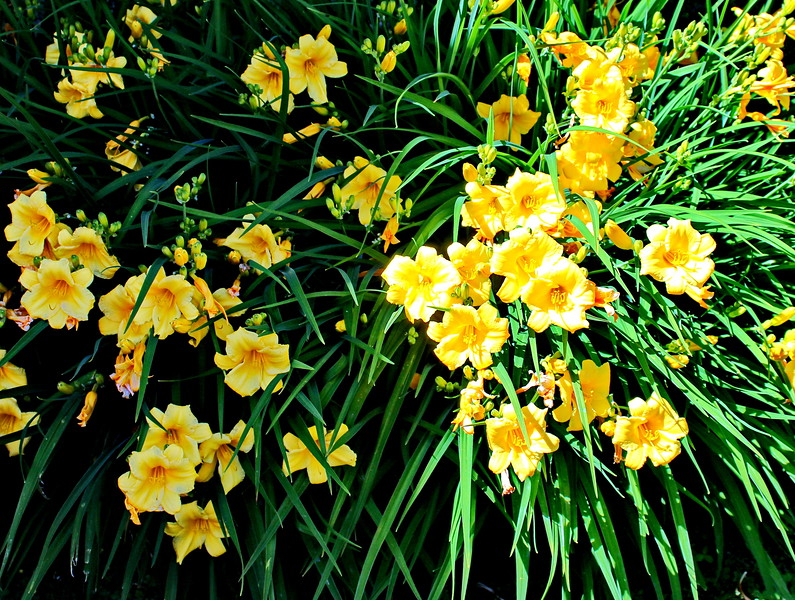 Yellow Day Lilies