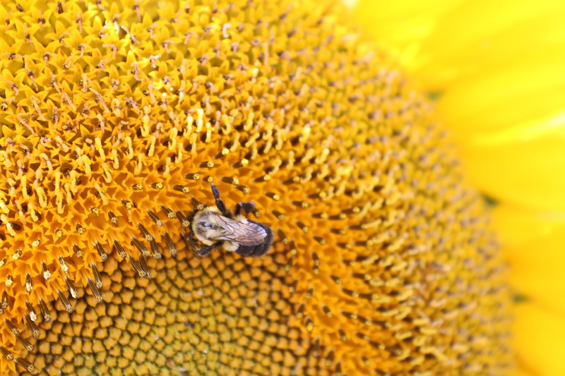 Bee Drinks Sunflower Nectar