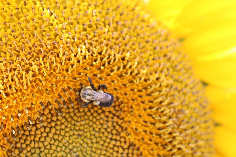 Bee Drinks Sunflower Nectar
