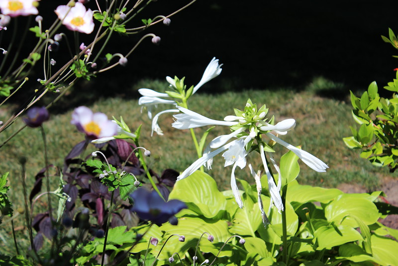 White Hosta Blossoms