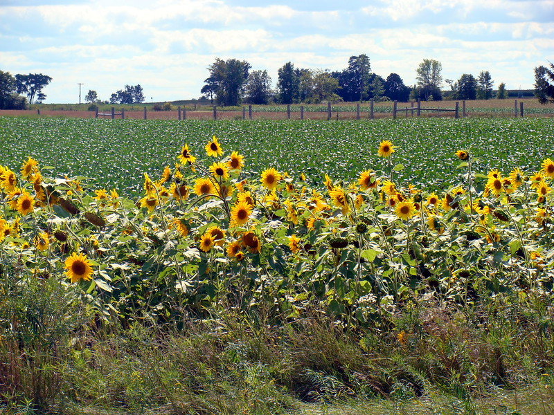 Sunflowers along the Road