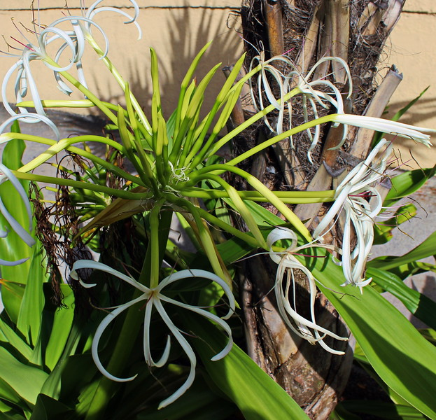Caribbean Spiderlily
