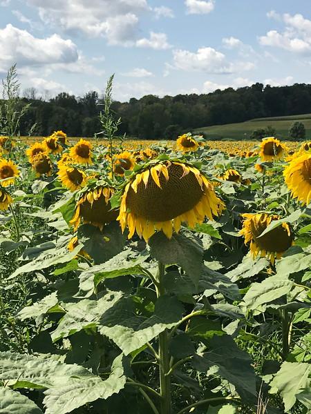 Heavy Headed Sunflower