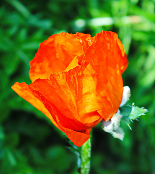 Orange Poppy Blossom
