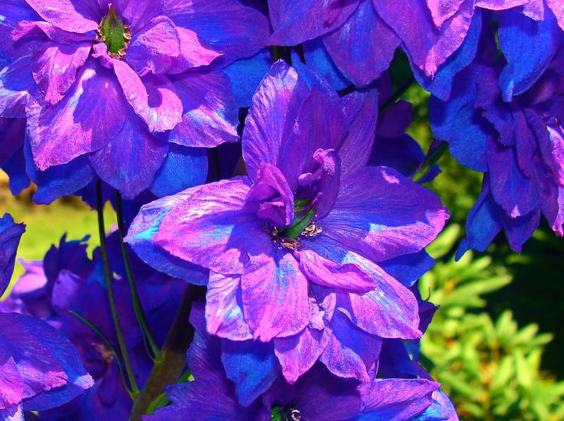 Iridescent Delphinium Flower