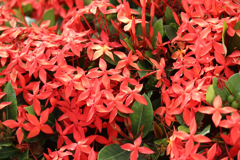 Ixora Flowering Shrub