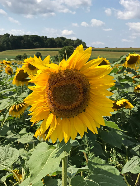 Sunflower Standout