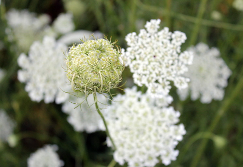 Queen Anne's Lace Blossoms and Bud
