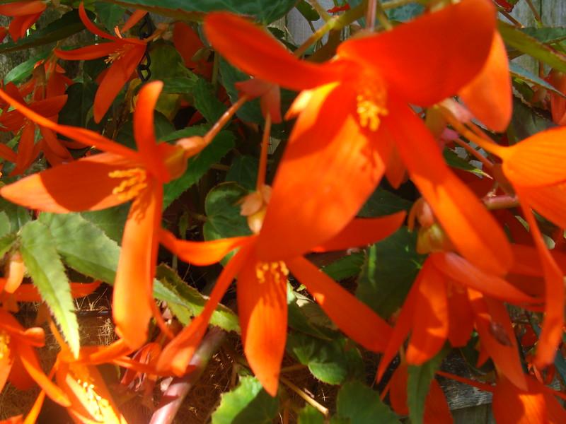 Bolivian Begonia