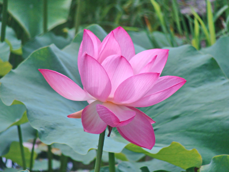 Lotus Blossom Opening