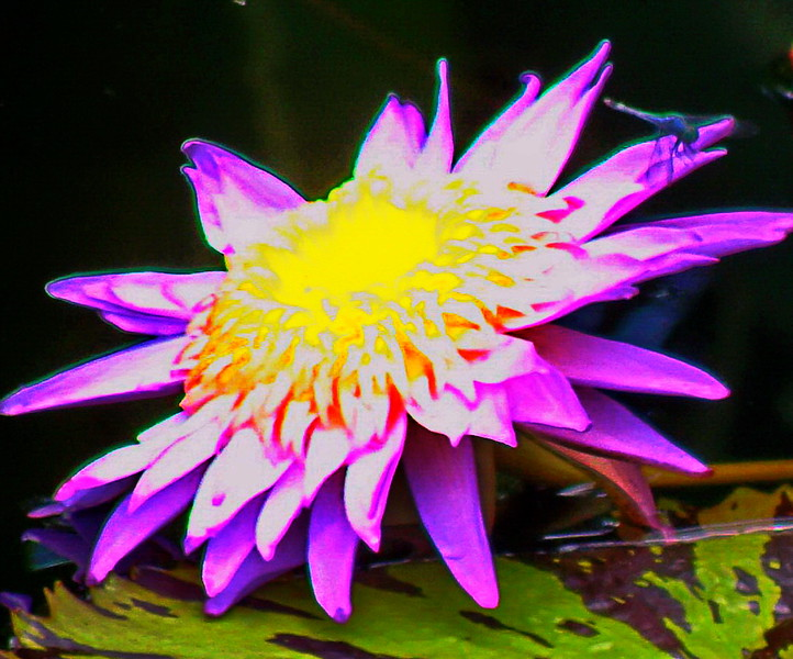 Water Lily with Dragonfly