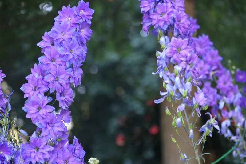 Pale Lavender Delphinium