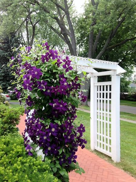 Purple Clematis Arbor