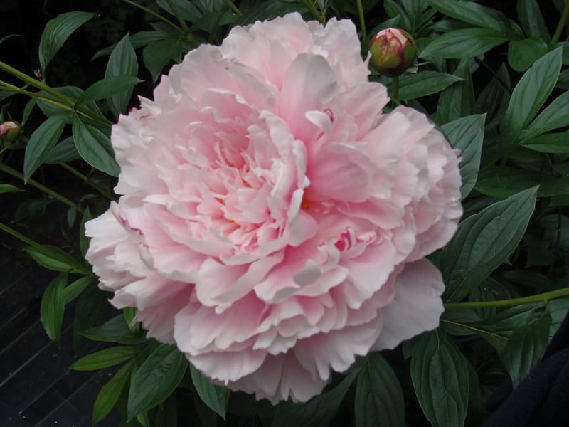 Pink Peony Blossom