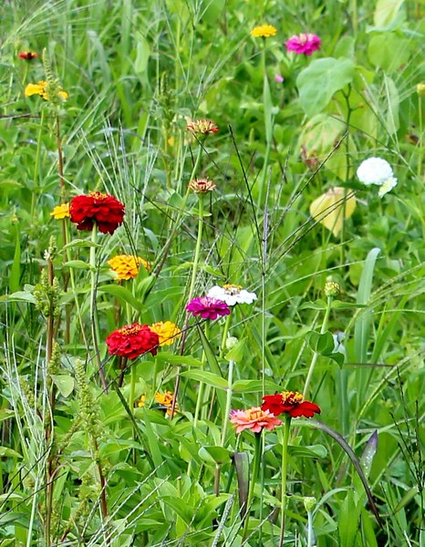 Zinnias in the Meadow