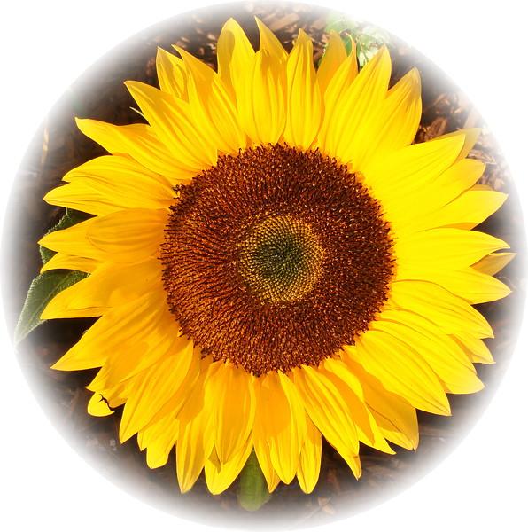 Sunflower in Ontario