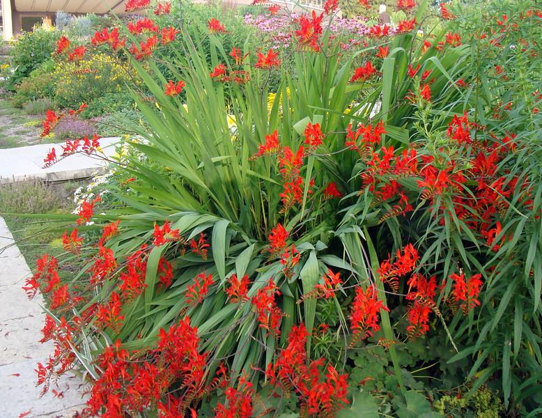 Crocosmia Lucifer Plant