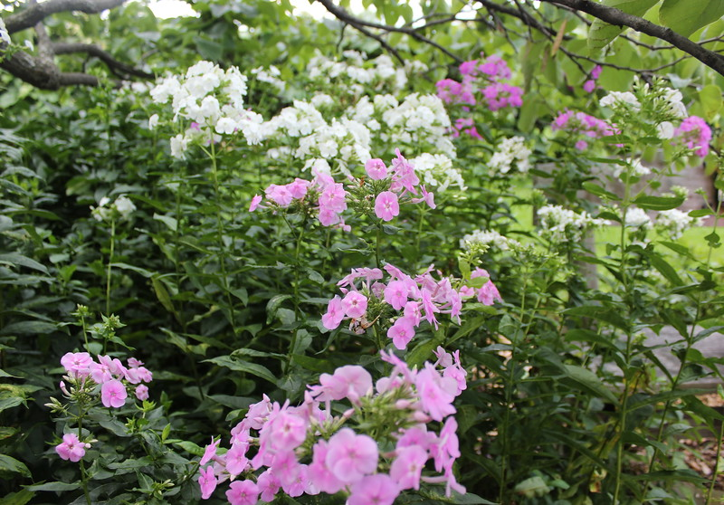 Pink and White Phlox