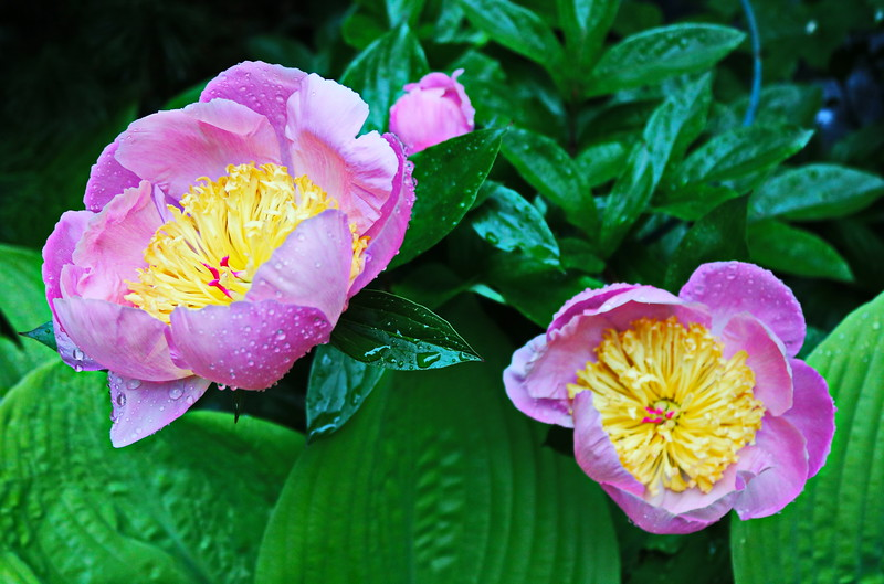Pink Tree Peony Blossoms after the Rain