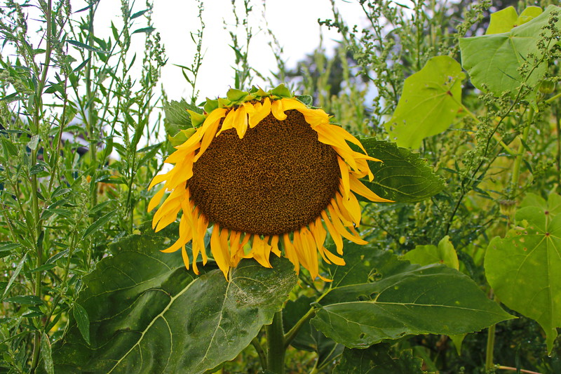 Sunflower in Summer