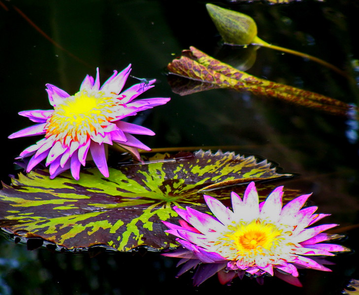 White and Hot Pink Water Lilies