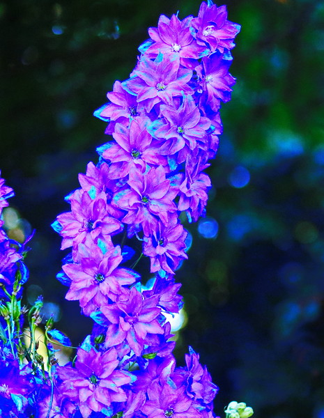 Pink and Blue Delphinium