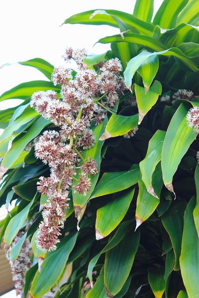 Corn Plant, Dracaena Flowers