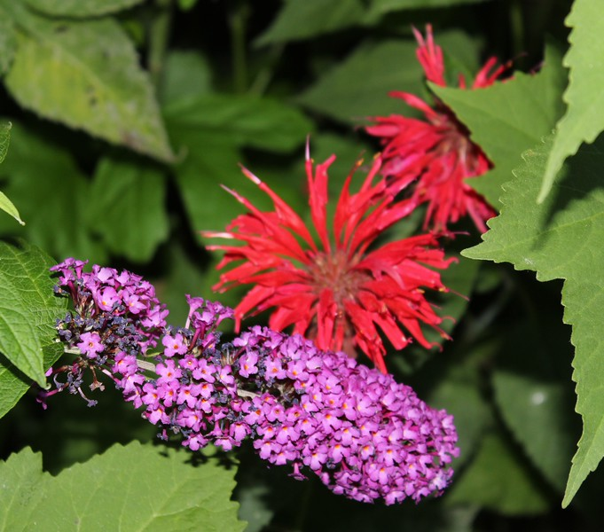 Pink Butterfly Bush Blossom and Red Bee Balm