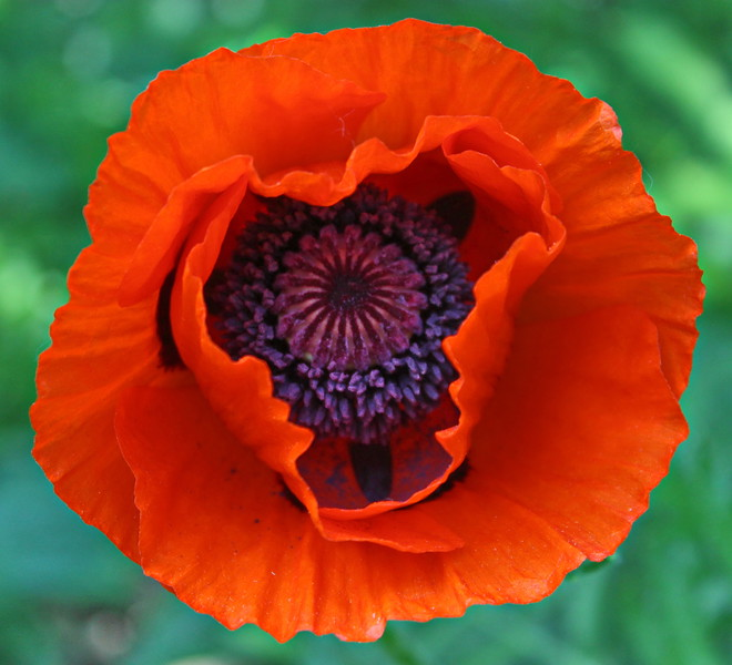Orange Poppy Face