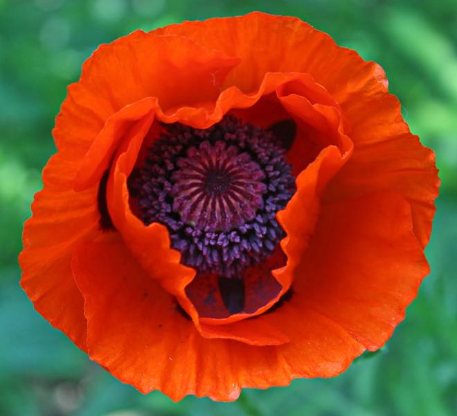 Orange Poppy Face