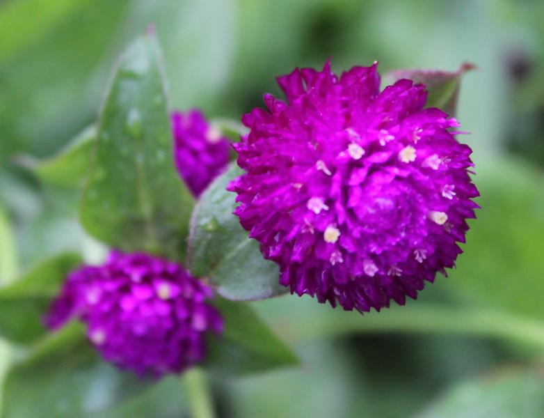 Carmine Blossoms