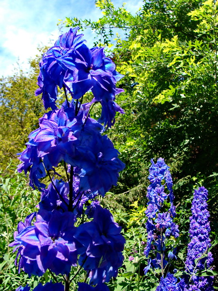 Blue and Lavender Delphinium