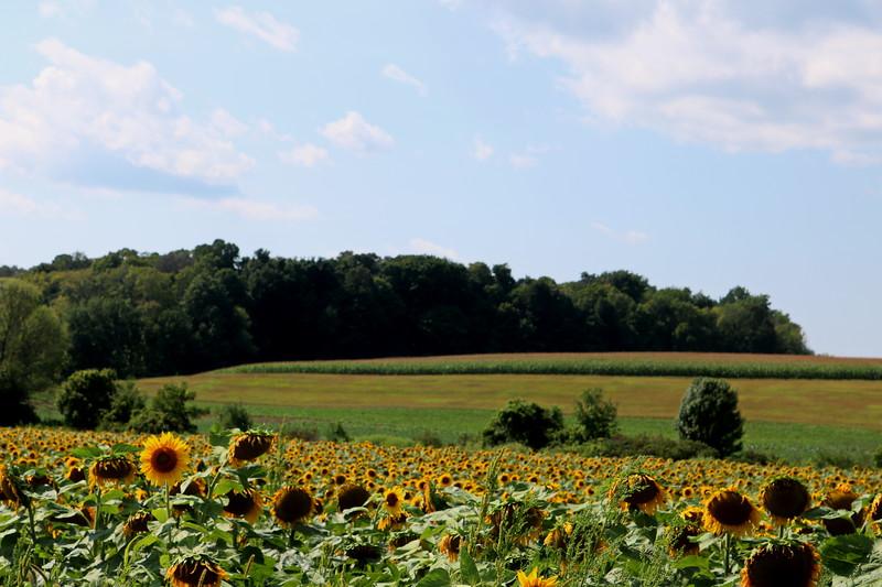 Sunflower Vista