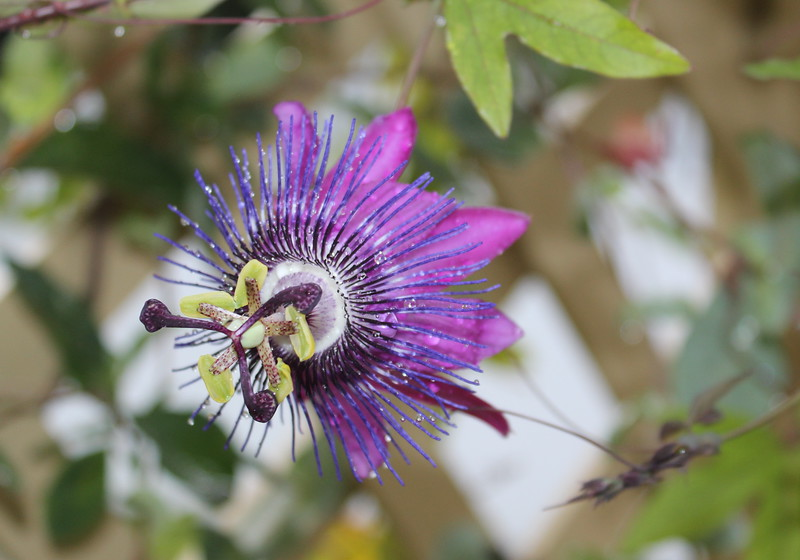 Lavender Passion Flower