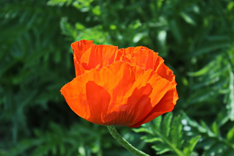 Orange Oriental Poppy
