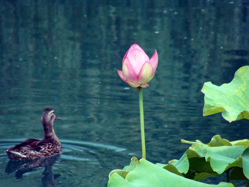 Lotus Blossom and Duck in the Pond