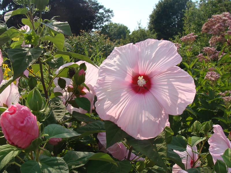 Pink Hibiscus in Pink Garden
