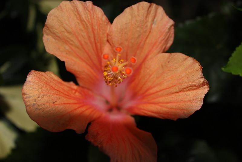 Coral Hibiscus Pistil and Stamen