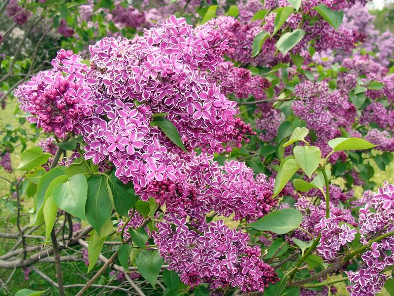 Sensation Lilacs