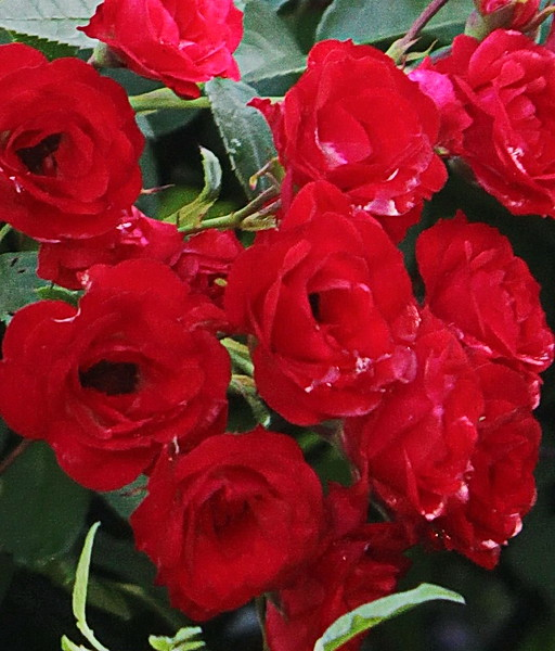 Red Roses at the Barn