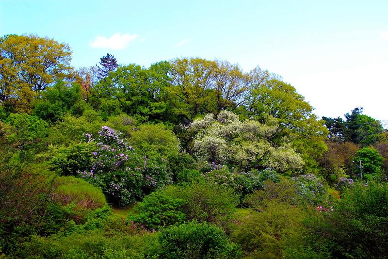 Lilacs at Highland Park