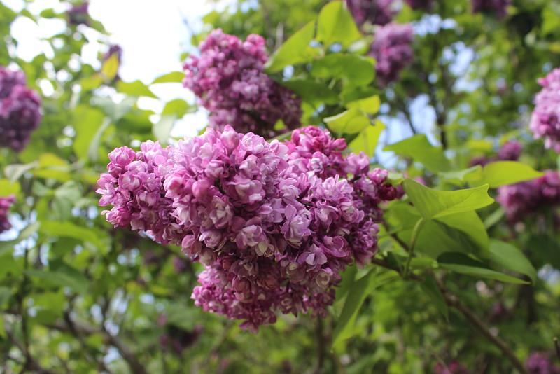Dark Pink Lilacs