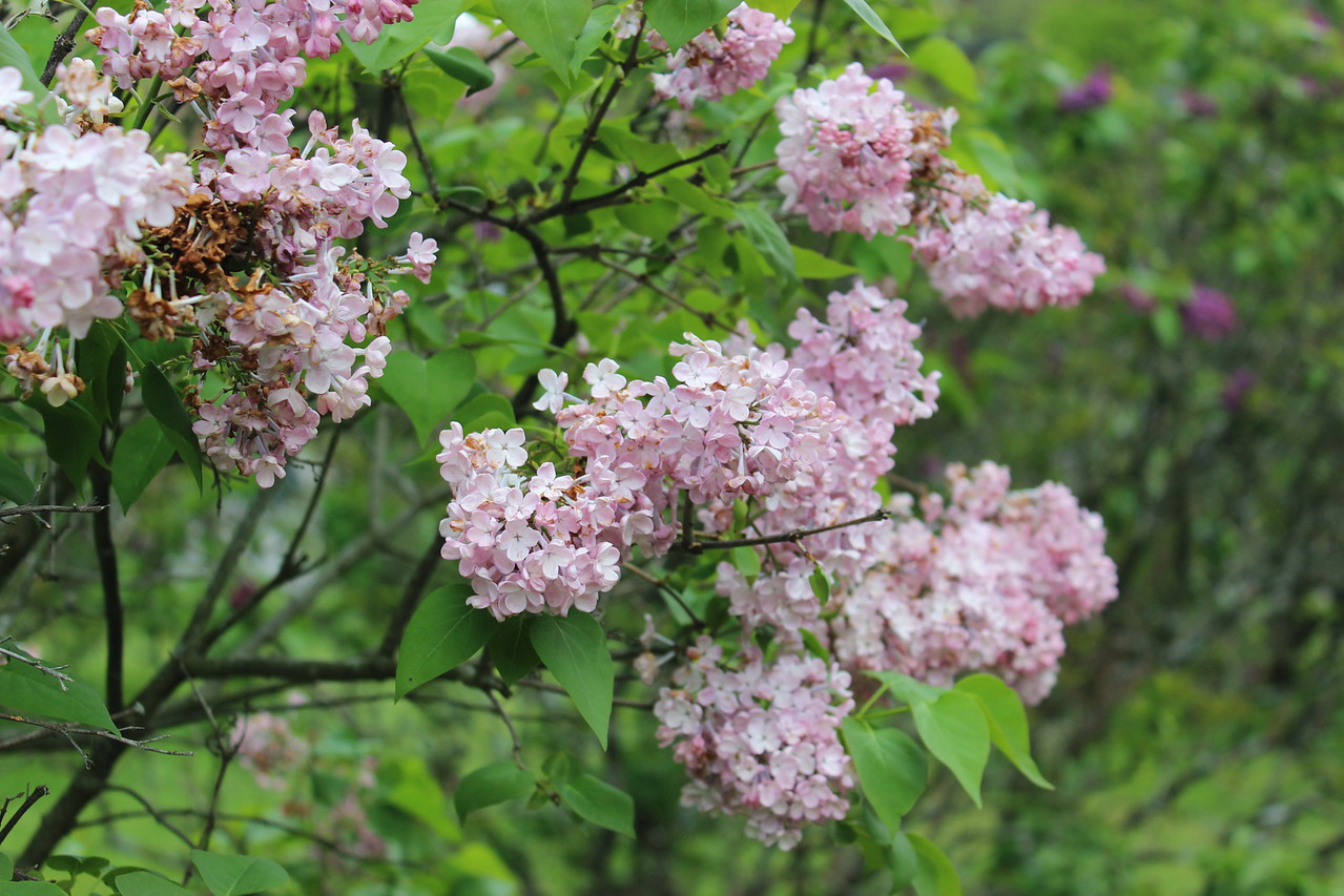 Pink Lilac Blossoms